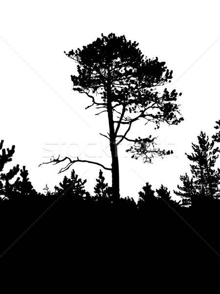 вектора рисунок силуэта старые соснового белый Сток-фото © basel101658