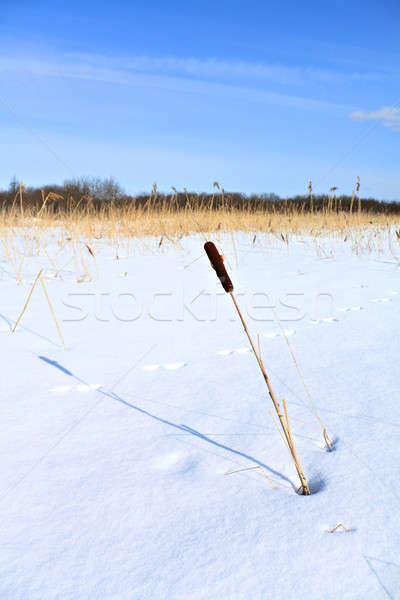 bulrush amongst snow Stock photo © basel101658