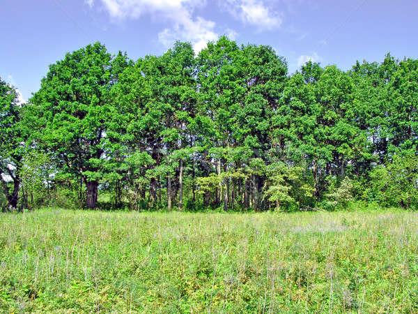 Tölgy fa égbolt fű erdő természet Stock fotó © basel101658