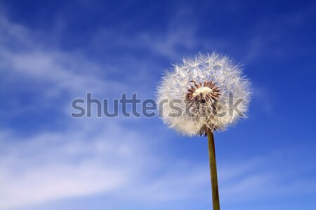 dandelion on celestial background Stock photo © basel101658