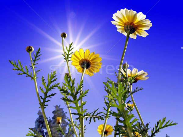 Krizantém kék égbolt absztrakt természet levél Stock fotó © basel101658