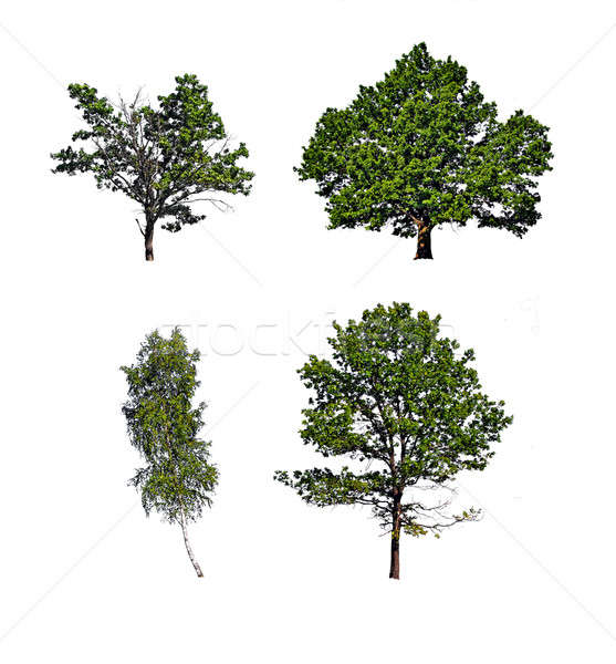 tree insulated on white background Stock photo © basel101658