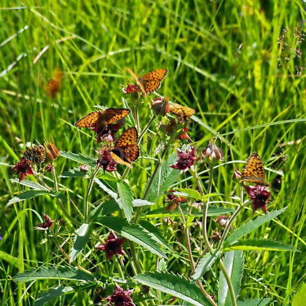 butterflies on herb Stock photo © basel101658