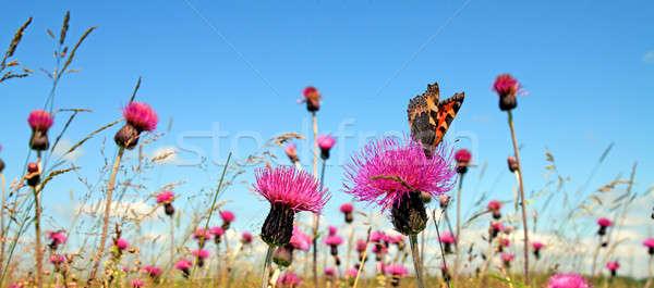 Pillangó virág tavasz természet háttér mező Stock fotó © basel101658