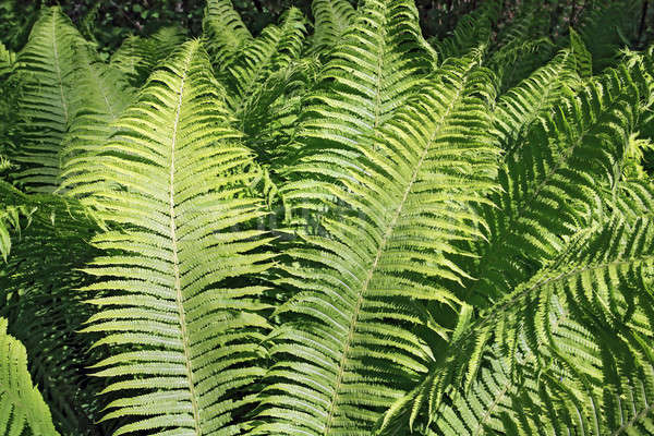 Stock photo: sheet of the fern