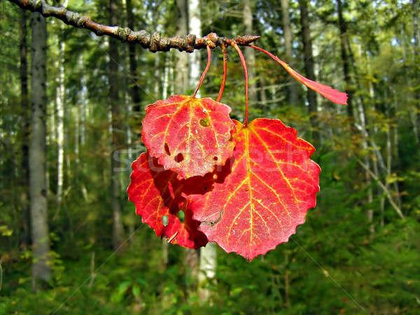 Piros lap zöld fa fa erdő Stock fotó © basel101658