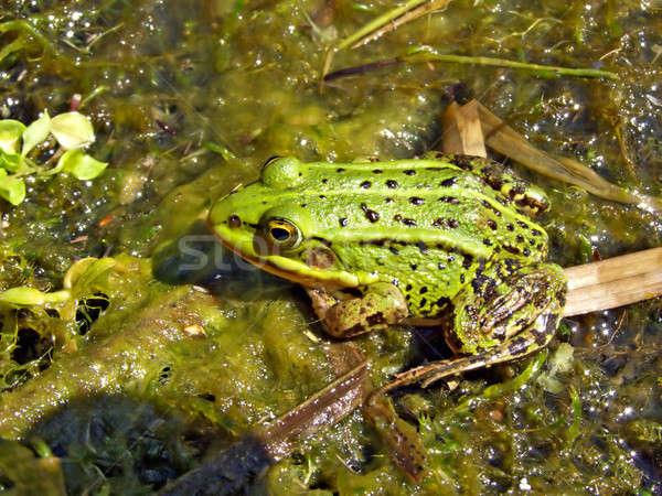 frog in marsh Stock photo © basel101658