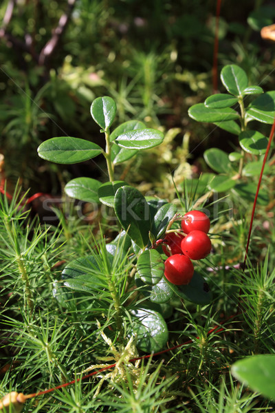 cowberry Stock photo © basel101658