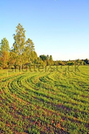 Campo de trigo verde granja trigo maíz Foto stock © basel101658