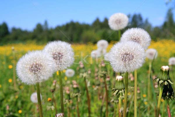Paardebloemen veld bloem voorjaar zomer ruimte Stockfoto © basel101658