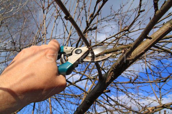 Giardino forbici albero bianco studio strumento Foto d'archivio © basel101658