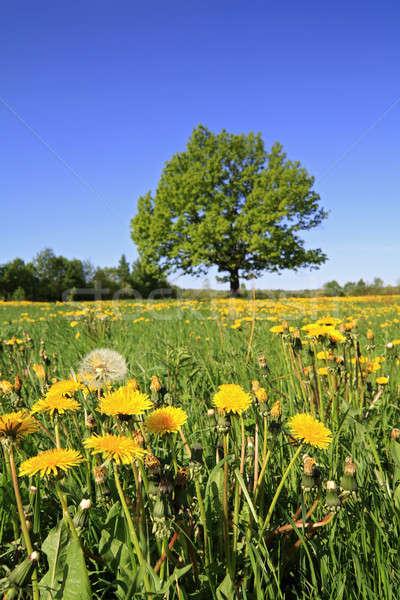 Tölgy mező fa tájkép háttér szépség Stock fotó © basel101658