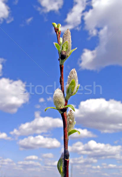 buds tree on background cloudy sky        Stock photo © basel101658