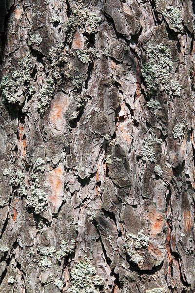 pine cortex Stock photo © basel101658