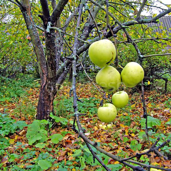 Verde mela ramo fiore sole natura Foto d'archivio © basel101658