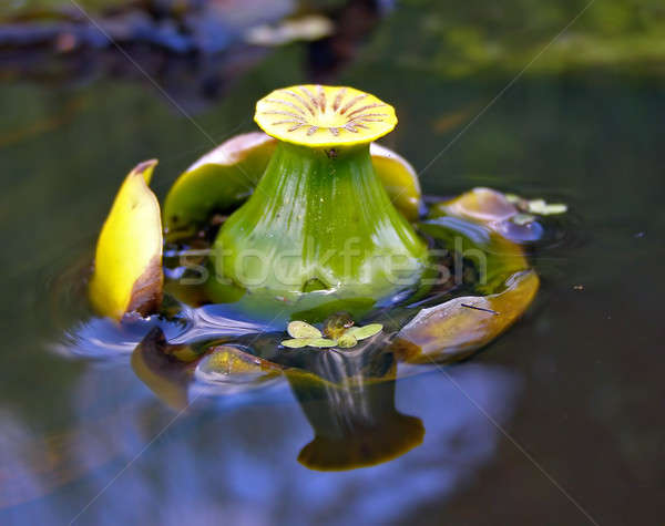 bud of the flower to lilies on water Stock photo © basel101658