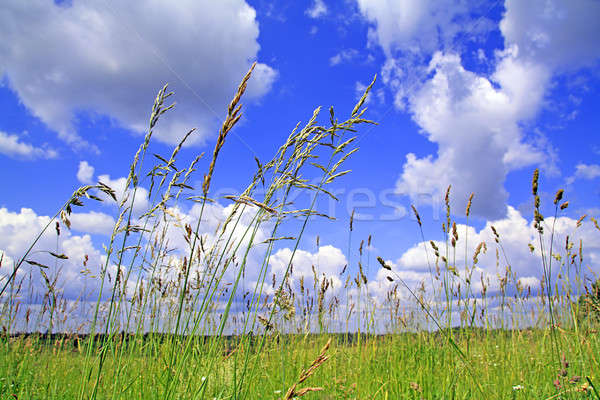 herb in field Stock photo © basel101658