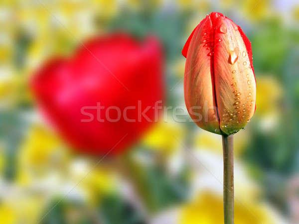 tulip amongst narcissus Stock photo © basel101658