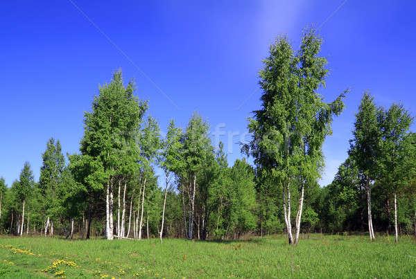 birch wood Stock photo © basel101658