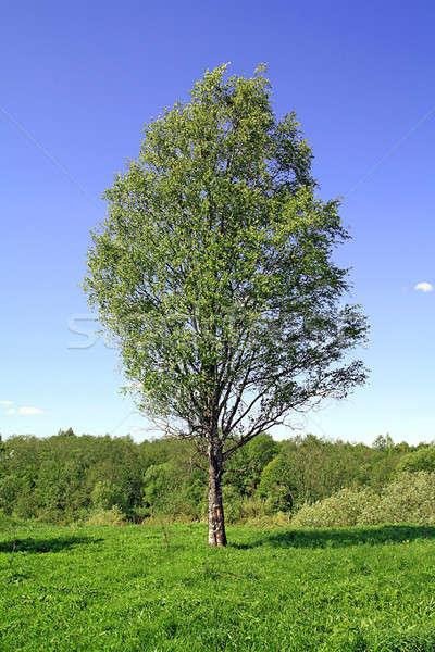 birch on field Stock photo © basel101658
