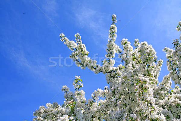flowering aple tree Stock photo © basel101658