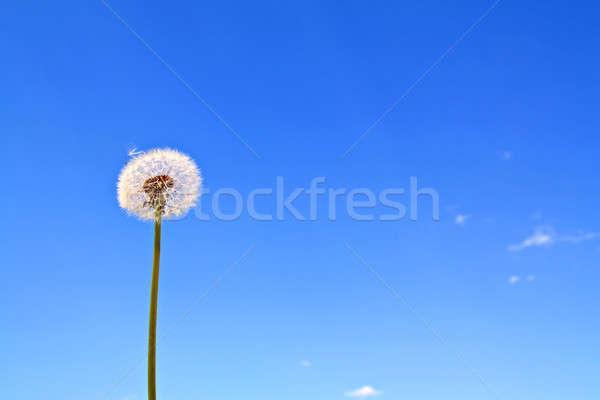 Diente de león cielo flor primavera verano espacio Foto stock © basel101658