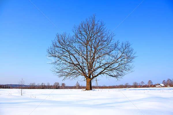 Dąb zimą dziedzinie śniegu niebieski pozostawia Zdjęcia stock © basel101658