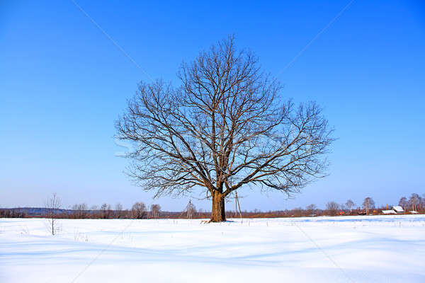 Eiken winter veld sneeuw Blauw bladeren Stockfoto © basel101658