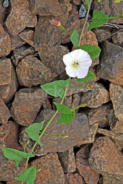 Stok fotoğraf: çiçek · taş · duvar · alan · bitki · beyaz
