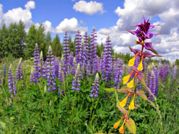 lupines on field       Stock photo © basel101658