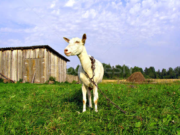 няня коза дома трава глазах ног Сток-фото © basel101658
