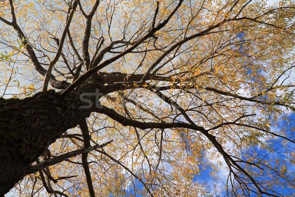 autumn tree Stock photo © basel101658