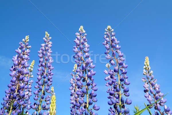 lupines Stock photo © basel101658