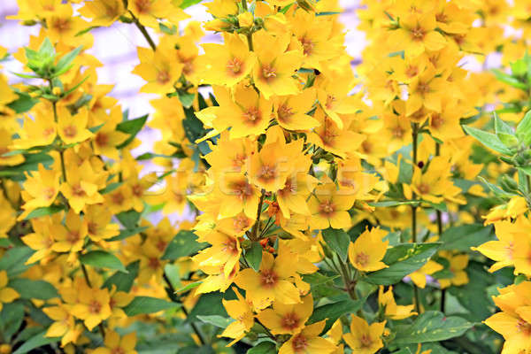 Amarillo primavera belleza verano verde fondos Foto stock © basel101658