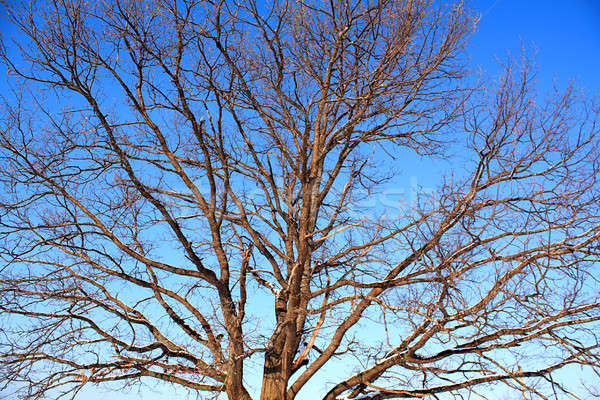 branches of the oak Stock photo © basel101658