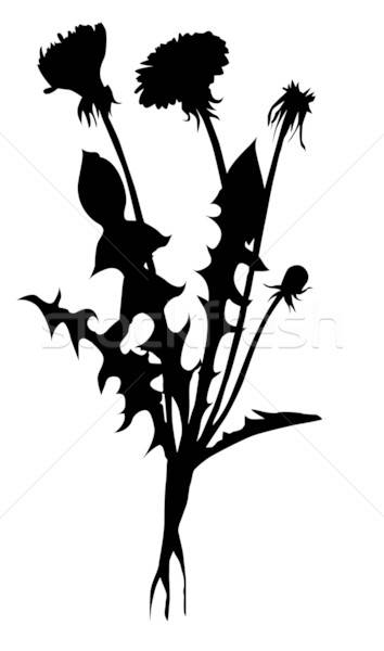 vector silhouette dandelion on white background Stock photo © basel101658