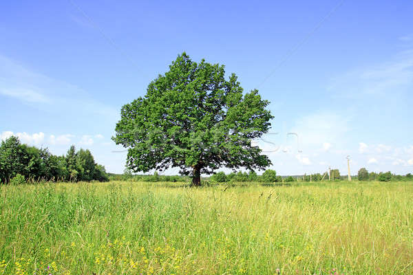 oak on field Stock photo © basel101658