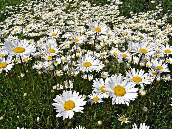Campo fiore sfondo estate verde prato Foto d'archivio © basel101658