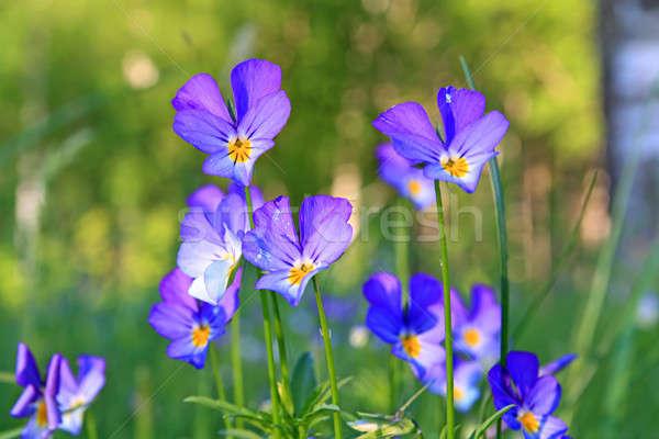 Campo flor hoja jardín verano azul Foto stock © basel101658