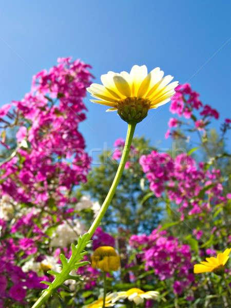 Crisantemo jardín cielo naturaleza diseno hoja Foto stock © basel101658