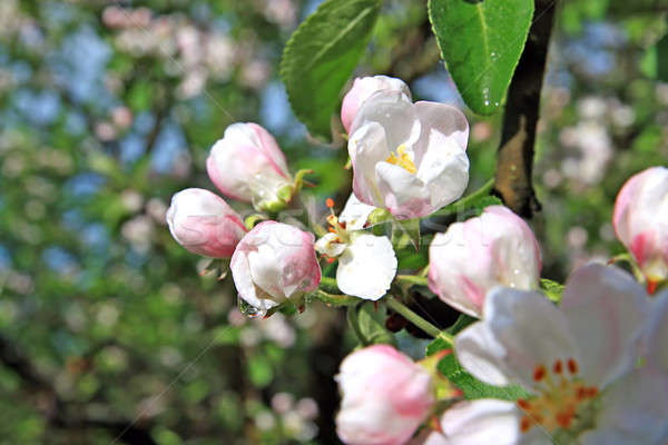 árboles cielo árbol primavera frutas belleza Foto stock © basel101658
