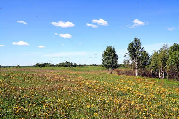Paardebloemen veld landschap achtergrond schoonheid zomer Stockfoto © basel101658