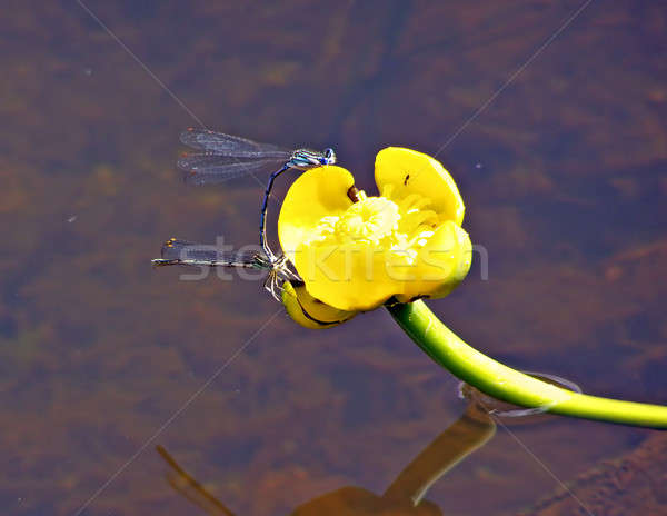 two dragonflies on flower of the water lily Stock photo © basel101658