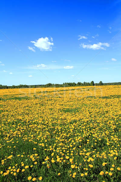 Dientes de león campo primavera espacio azul vida Foto stock © basel101658