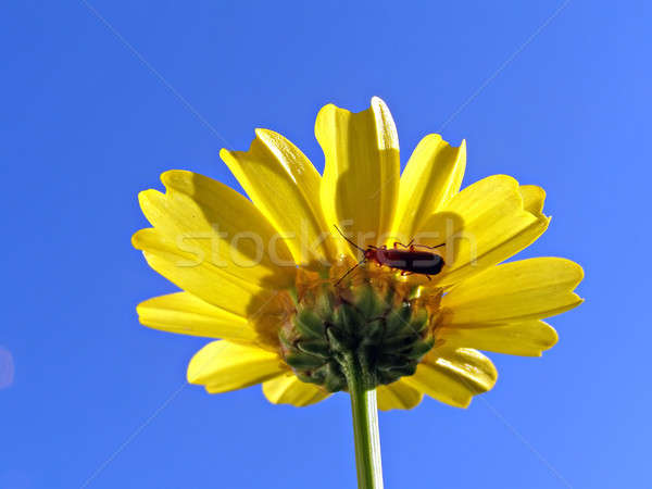 flower chrysanthemum on turn blue background   Stock photo © basel101658