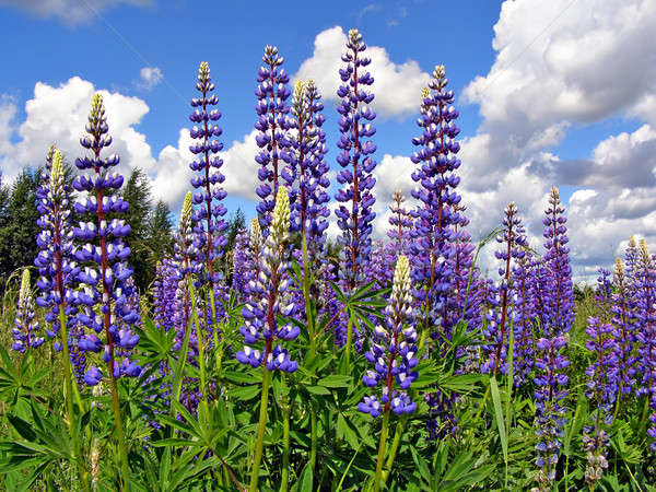 flowerses lupines on field   Stock photo © basel101658