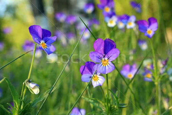 Mező virág levél kert nyár kék Stock fotó © basel101658