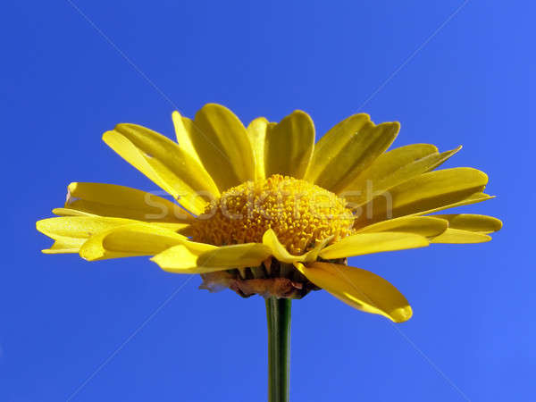 Chrysantheme beleuchtet hellen Sonne blau Himmel Stock foto © basel101658