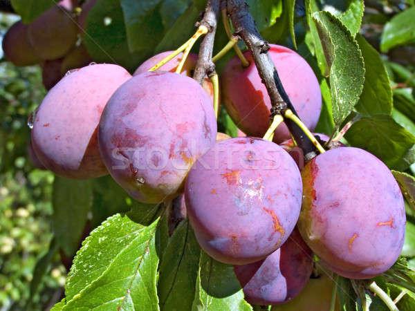 Pruim tak ontwerp blad vruchten gezondheid Stockfoto © basel101658