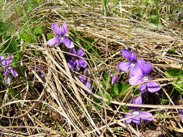 field flowerses amongst dry herb Stock photo © basel101658